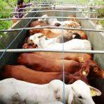 program pengembangbiakan sapi