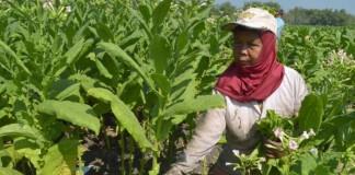 Impor Tembakau