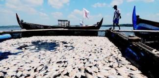 Satu Ton Ikan Mati