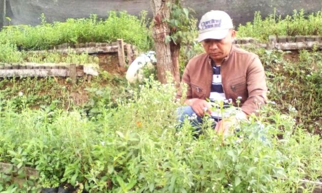 Seorang petani budidaya Stevia di Desa Gambung bercocok tanam Stevia yang mengandung rasa manis bebas kalori sebagai pengganti dari gula.