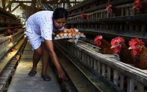 Ilustrasi peternakan ayam/Radar Malang.