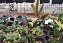 kaktus Lina