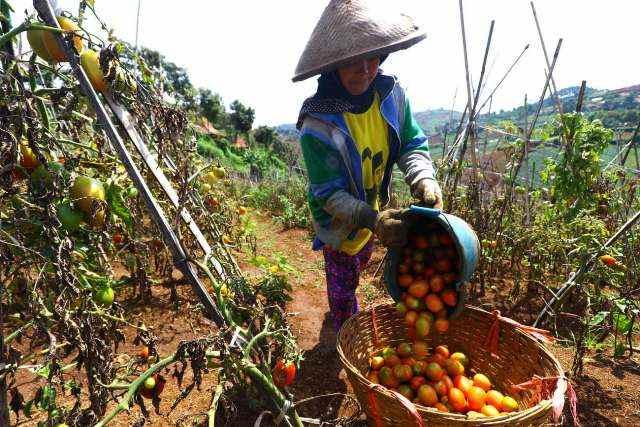 HASIL PANEN: Seorang petani saat mengumpulkan hasil panen sayuran tomat untuk selanjutnya dijual ke pedagang atau konsumen di pasar. Hal ini memberikan bantuan dalam pemasaran. (Ilustrasi)