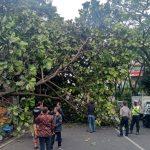 ILUSTRASI: Pohon besar yang Tumbang di jalan Sukajadi beberapa waktu lalu Ditandai dengan tidak adanya angin ataupun hujan sebelum kejadian tersebut. Foto: boy Darmawan/Jabar Ekspres.