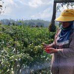 Petani cabai di Lembang memanen cabai merah. (Ilustrasi)