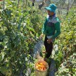 PANEN: Petani asal Lembang, KBB, sedang memanen tomat di kebunnya.