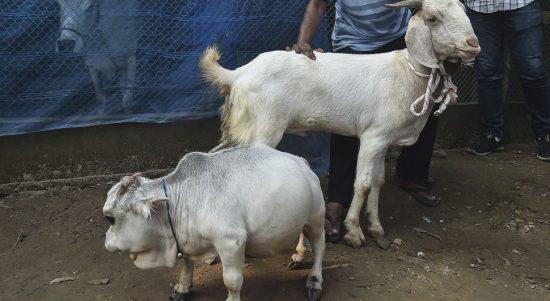 Sapi terkecil di dunia asal Bangladesh