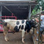 ILUSTRASI: Peternak hewan kurban di Lembang, KBB saat menunjukkan salah satu hewan kurban yang akan dijual pada konsumen.