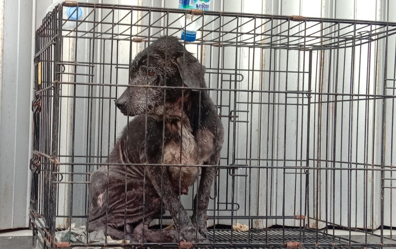 PRIHATIN: Salah satu anjing milik korban perampokan pemilik Toko Mas Gaya Baru di Kosambi, terlihat memprihatinkan dan lemas. Senin (20/9).