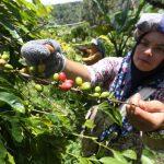 Petani memanen kopi arabika gayo di kebun UD.Tiara Global Coffee, Takengon, Aceh Tengah, Aceh, Kamis (16/9/2021). ANTARA FOTO/Irwansyah Putra/wsj.