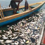 Pemilik keramba jaring apung di Waduk Jangari, Kecamatan Mande, Kabupaten Cianjur, Jawa Barat, merugi akibat kematian massal ikan yang mereka budi dayakan. (ANTARA/Ahmad Fikri)