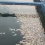 Tampak ikan mati di waduk Saguling/ISTIMEWA.